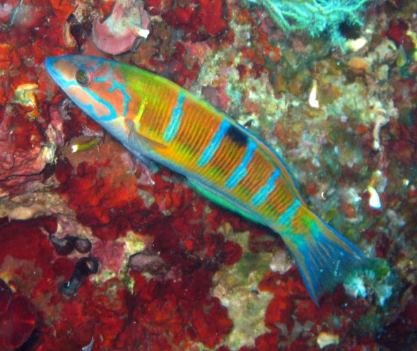 Female_Thalassoma_pavo
